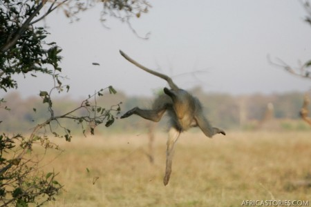 Baboon Falling From a Tree