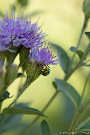 Beetle on a Thistle