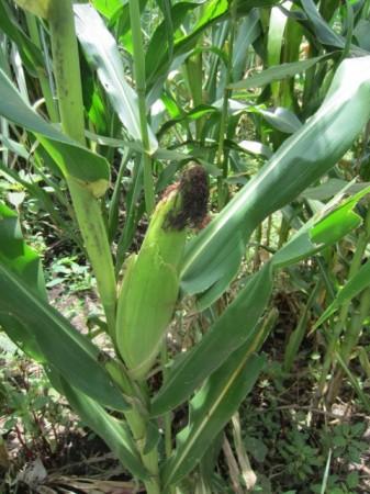 Banda Farm Maize