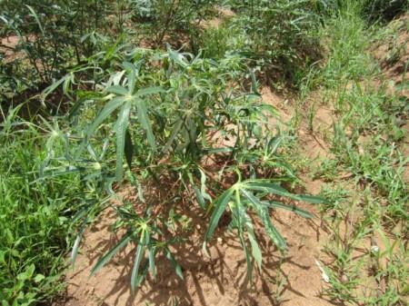 Banda Farm Cassava